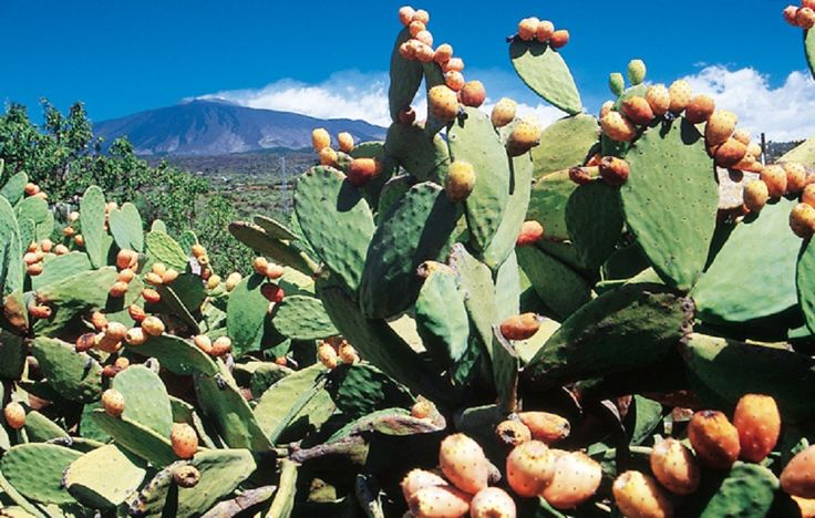 Landscape Of Mount Etna Broom Plants With Blooming Trees And ... Opuntia