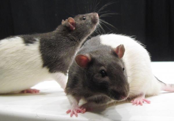 Cómo hacer un veneno para ratas casero - 7 pasos - unComo