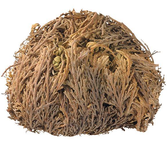 Dried decorative : ΣΚΟΡΠΙΔΟΧΟΡΤΟ ΦΥΤΟ ΔΙΑΚΟΣΜΗΤΙΚΟ