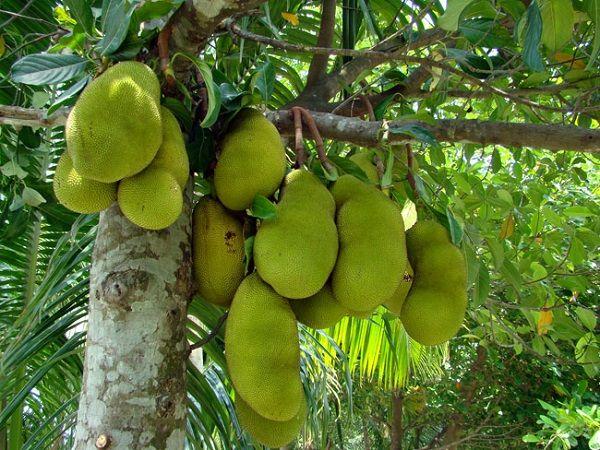 Image result for jackfruit varieties