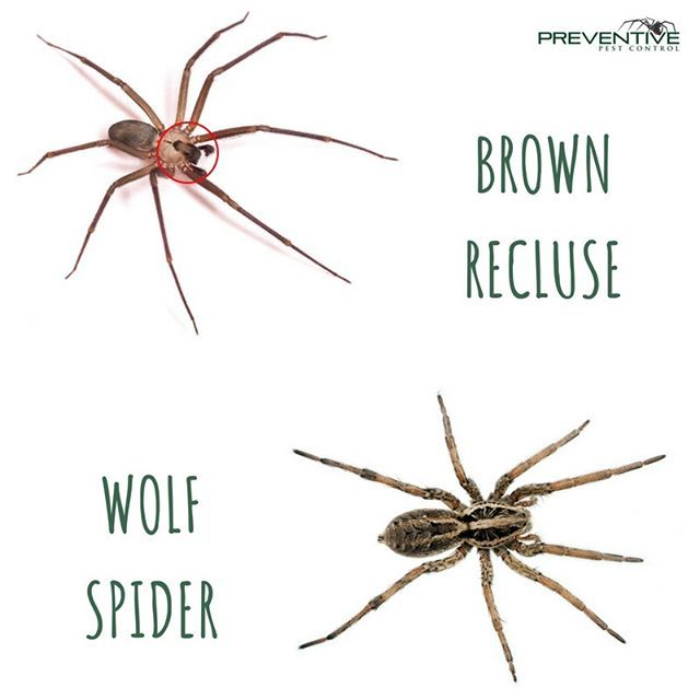The Brown Recluse Spider Is Commonly Mistaken For The Wolf Spider Although Both Are Harmful To Humans If Thr Brown Recluse Spider Brown Recluse Recluse Spider