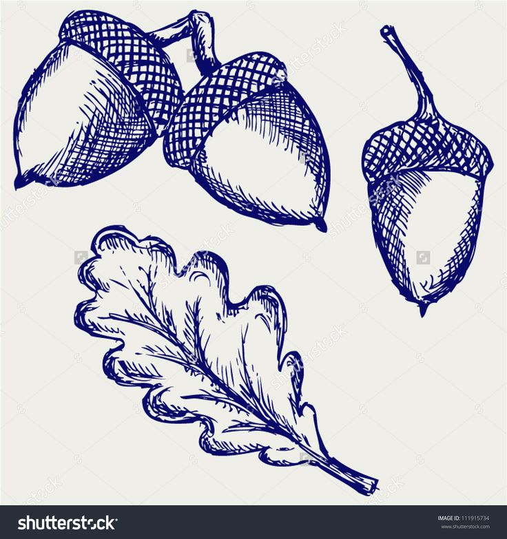 Drawing Acorn Stock Vectors & Vector Clip Art | Shutterstock