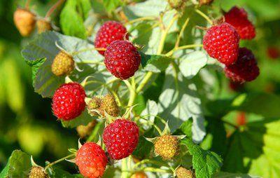 10 gode råd om bærbuske