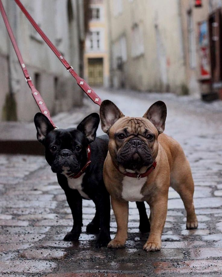Are You One Of The Pug Lovers Or French Bulldog Lovers If You Do