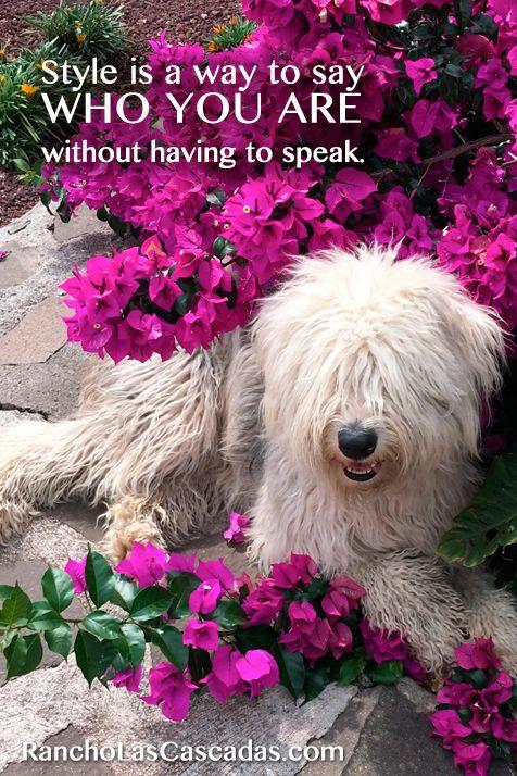 Style quote, stylish dog, english sheepdog, purple flowers, dog and flowers, bougainvillea, mexico style