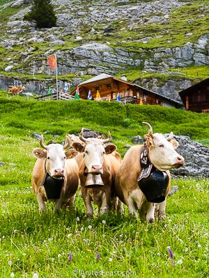 Happy cows, just arrived at summer pastures above Oeschinensee, in Switzerland's Berner Oberland.