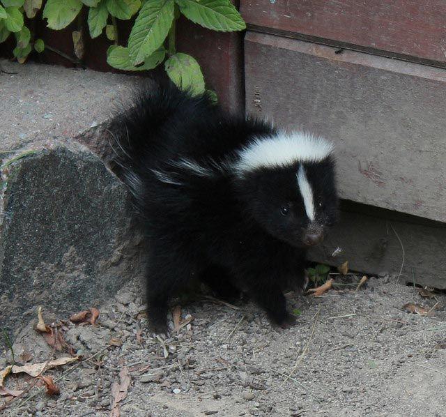 Schon mal ein Baby-Stinktier gesehen