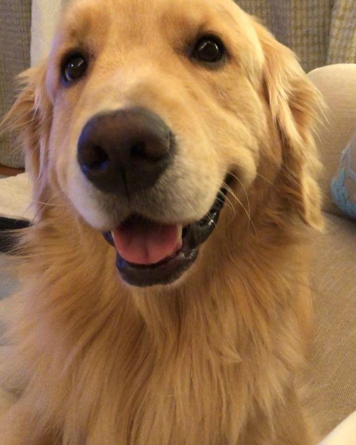 Famous Golden Retriever Smile Golden Retriever Retriever Dogs