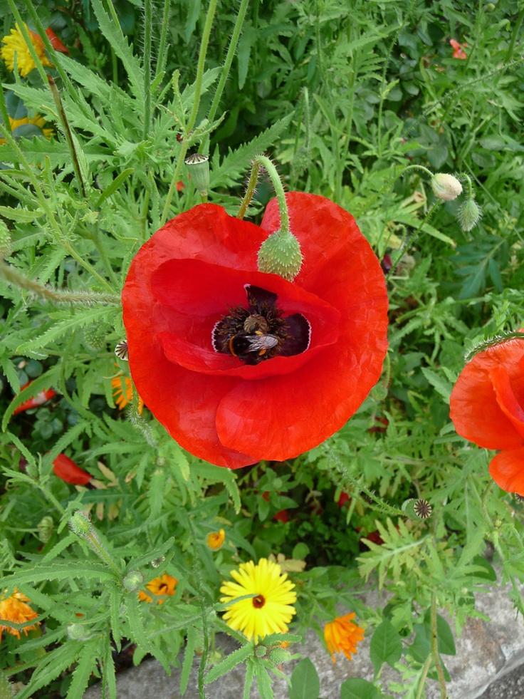 1000 id es propos de fleurs de prairie sur pinterest jardin de prairie photos de fleurs et. Black Bedroom Furniture Sets. Home Design Ideas
