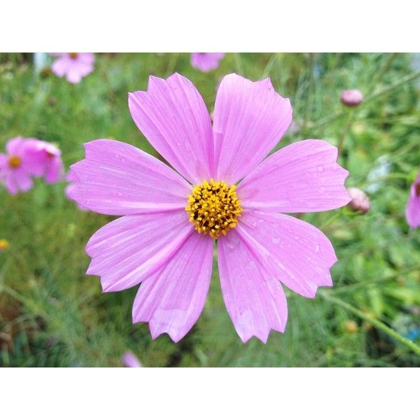 Pin By Troppobella On My Polyvore Finds Cosmos Pink Flowers Floral