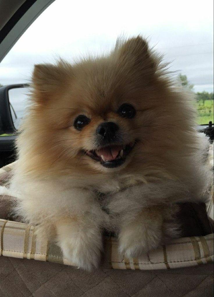 Adorable Pomeranian!