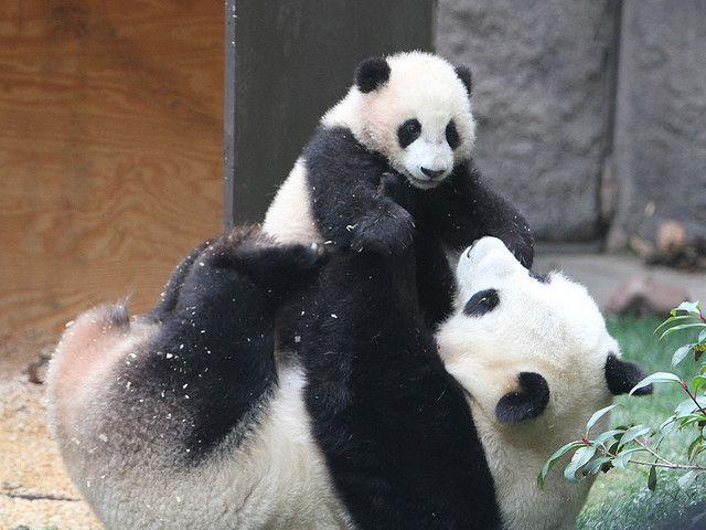 お母さんに抱っこされる赤ちゃんパンダ