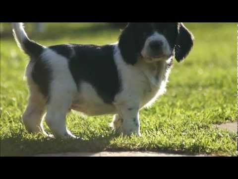 (5) Sprocker Spaniel Puppies - English Springer X Cocker - YouTube