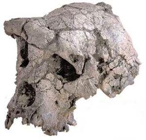 Orrorin Tugenensis  Fue encontrado en Kenya, su edad. Se fechó en 5'9-6ma de años.En cuanto a su dentición tiene dientestiene dientes pequeños, aunque con esmalte grueso (rasgo arcaico). Mantiene el canino largo, pero relativamente más pequeño que el de un chimpancé. En cuanto a rasgos poscraneales, los huesos del brazo (un húmero bastante largo) y los dedos sugieren una anatomía similar a la del chimpancé, adaptados a la braquiación.
