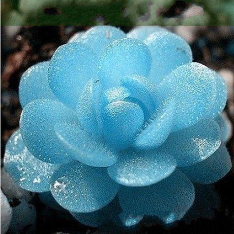 Lithops Azul. Reino de las Plantas, plantas con flores, angiospermas. Tienen flores y producen frutos con semillas. Hoja caduca o perenne.