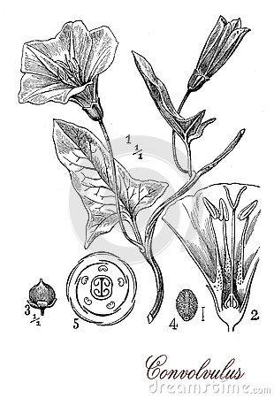 Powój kwiatonośna roślina, botaniczny rocznika rytownictwo