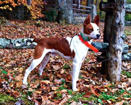 Mountain Feist Dog