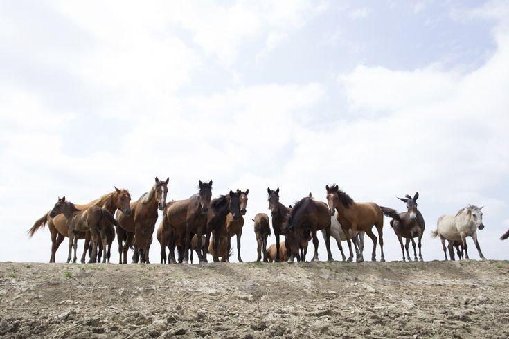 Mai mulţi cai sălbatici stau pe marginea unui canal, în rezervaţia Biosferei Delta Dunării, joi, 1 august 2013. (  Silviu Matei / Mediafax Foto  ) - See more at: http://zoom.mediafax.ro/nature/wildlife-romania-ii-11507869#sthash.8iqUuCGN.dpuf