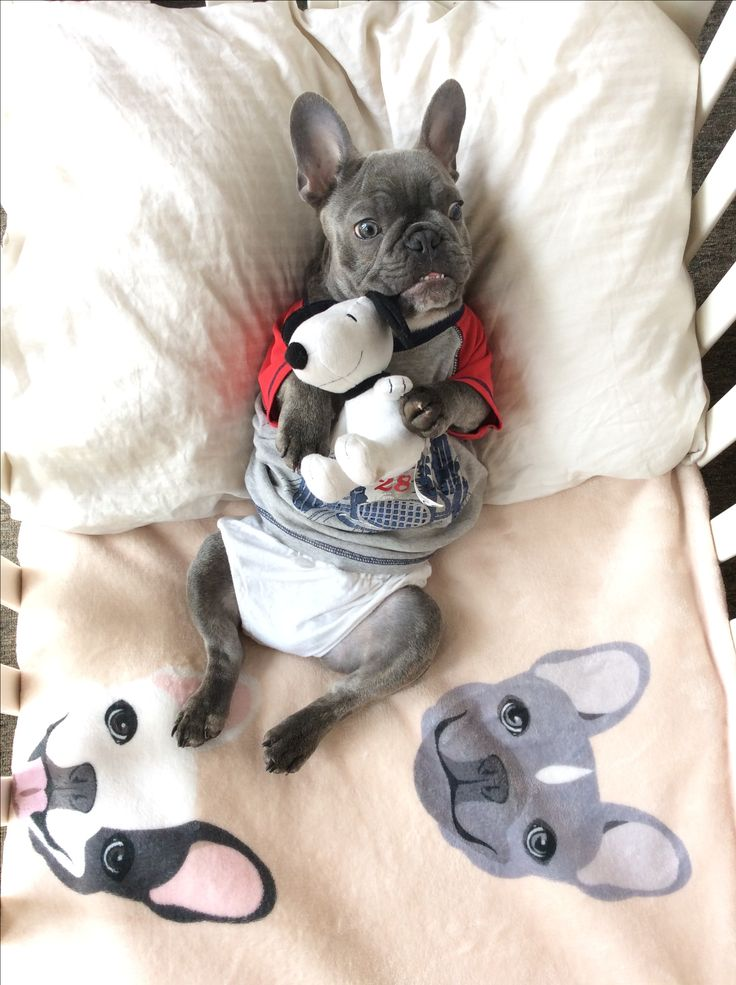 Blue French Bulldog Puppy, on bedding from the Frenchie Store, www.thefrenchiestore.com