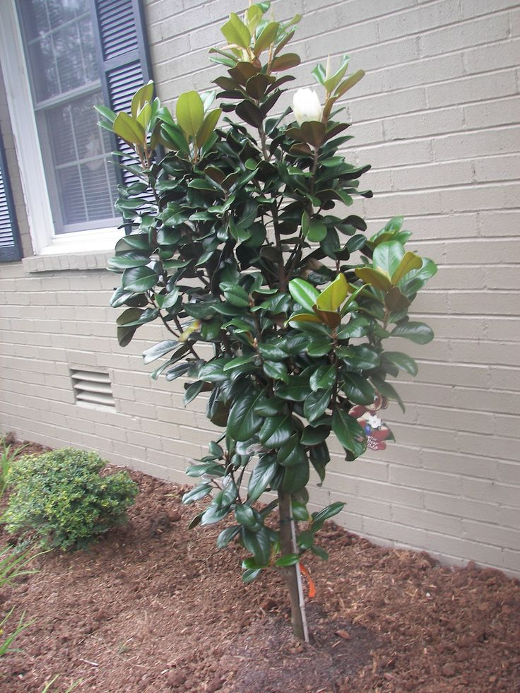Teddy Bear Dwarf Magnolia Tree Patio Plants Pinterest