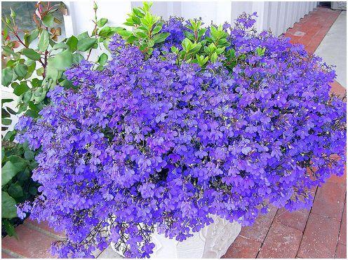 Lobélia egynyári növények,egynyári virágok ültetése, gondozása