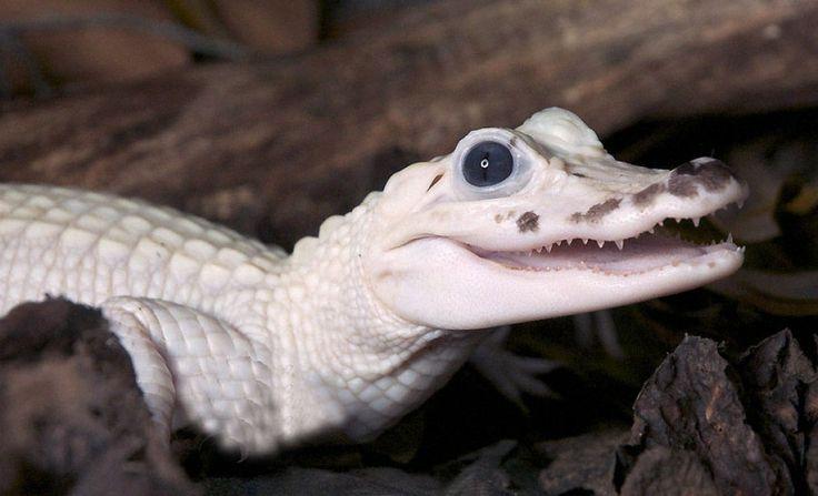 Albino Alligator  Wikipedia