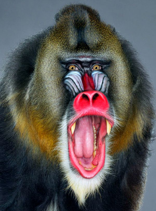 "Jill Greenberg  ""Monkey portraits"""