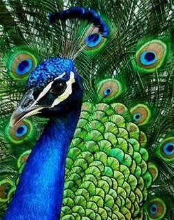 Peacock Wedding Theme - Bing Images