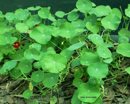 A Capuchinha pode ser cultivada em local parcialmente sombreado, recebendo, no mínimo, 4 horas de sol por dia. Solo com bom teor de umidade. Espaçamento de plantio: 0,50 por 0,60 m. É indicada como purgativa (frutos secos), aperiente, tônica, depurativa, antibiótico natural, antiescorbútica, estimulante, digestiva, expectorante, calmante da tosse, purgativo. Usa-se a parte aérea (caule, folhas, frutos e flores) para a produção do chá.