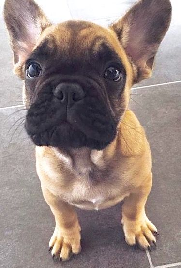 I'm just here for the treats : @french.marcel #LimitlessDog #Frenchies  French Bulldog Puppy