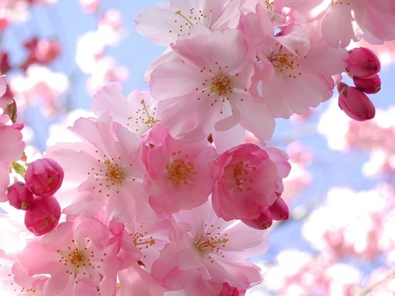 'Spring Flowers, Pink Flowers, Flowers Tre, Cherry Trees, Cherries Blossoms Impermanence, Beautiful Flowers, Beautiful Cherries, Deer Silhouette, Cherry Blossoms