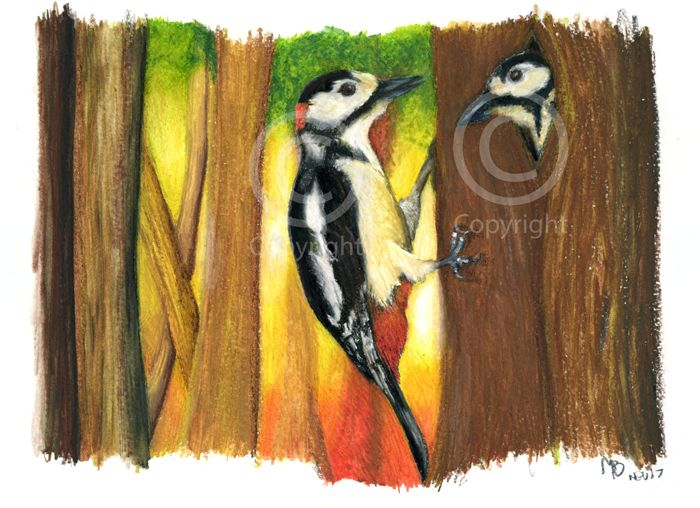 Great Spotted Woodpecker, in watercolour pencils - A pair of Great Spotted Woodpeckers. Hand-drawn as part of my British Garden Birds collection, I created this artwork using watercolour pencils. This drawing was created on watercolour paper using Derwent watercolour pencils.