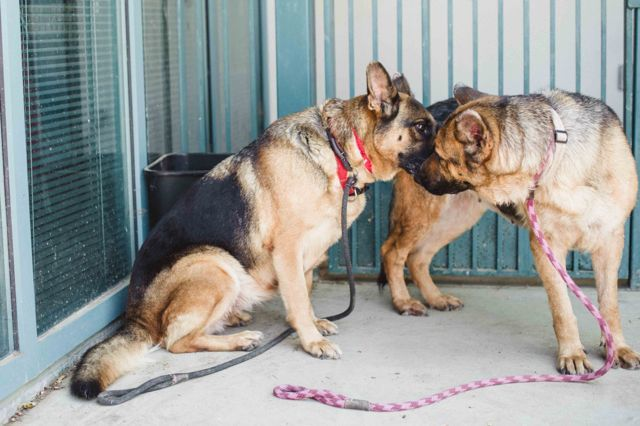 TO BE DESTROYED.  DATE TODAY IS 8/23/16. THESE TWO SHEPHERDS ARE BONDED TOGETHER. PLEASE SAVE THEM!