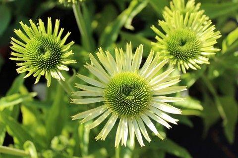 Coneflower Green Jewel  Green flower gems