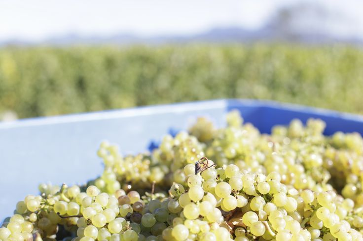 Freshly picked grapes #nzwine #mountriley