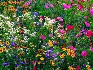 Growing wildflowers by expert Pat Welsh
