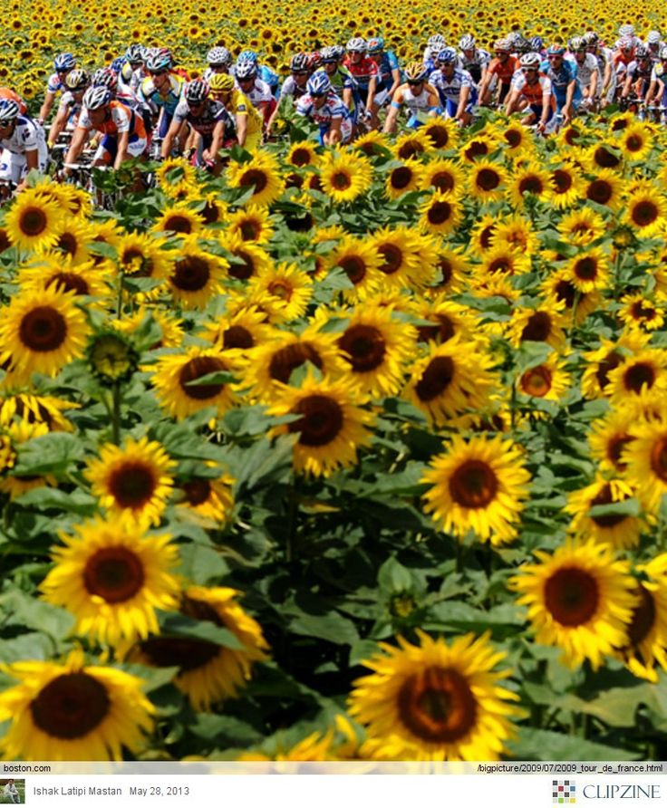 Tour de France ... Bicyclists + Sunflowers