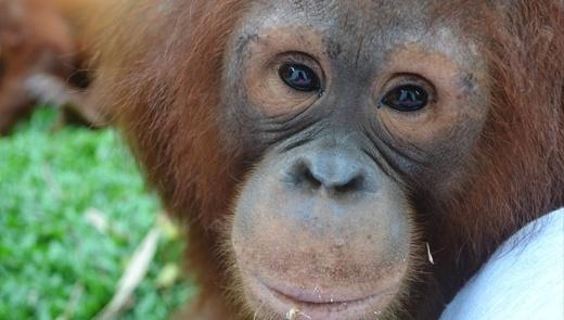 We All Love Orangutan - Urban's Note by Urbanesia