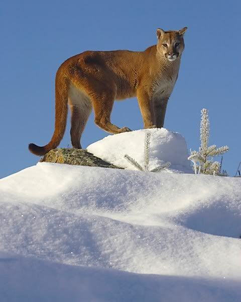 Image detail for -MOUNTAIN LION Image - MOUNTAIN LION Picture, Graphic, & Photo