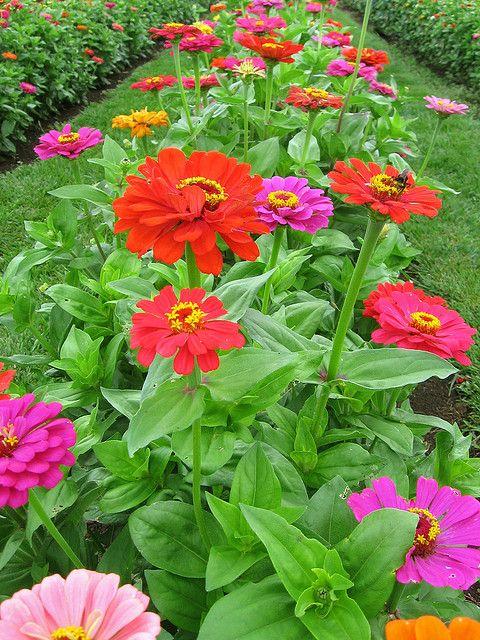 Cutting Garden...love Zinniau0027s. Such A Beautiful Long Lived Flower. My