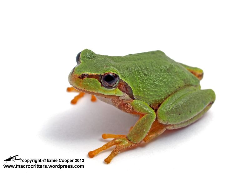 Image result for pacific tree frog