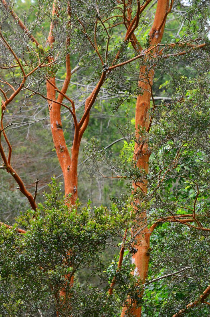 """Luma apiculata """"Arrayán""""... en Rancho Vaitea"""