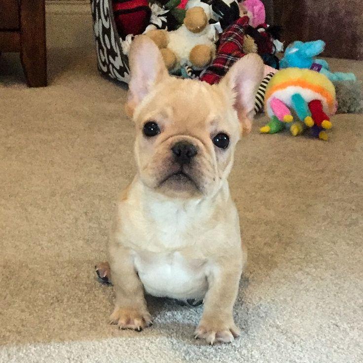 #frenchies #frenchbulldog #puppies #alfie #frenchiepuppy