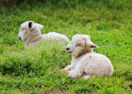In the spring, adorable lambs can be seen throughout the Historic Area. These Leicester Longwool lambs are part of our Rare Breeds program.