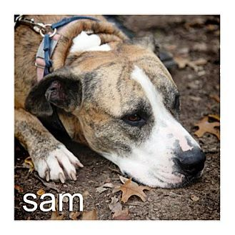 Dallas, TX - American Staffordshire Terrier/American Pit Bull Terrier Mix. Meet Sam, a dog for adoption. http://www.adoptapet.com/pet/15937050-dallas-texas-american-staffordshire-terrier-mix