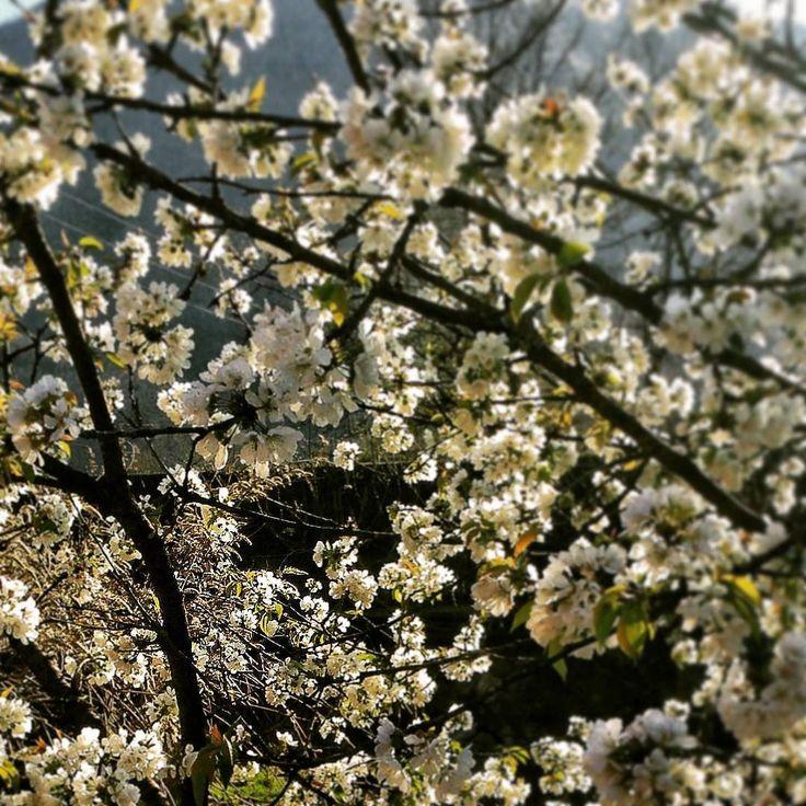 Anche oggi mi sono fermata un po' in #giardino a godermi il #ciliegio in #fiore: uno degli spettacoli della #natura più belli..