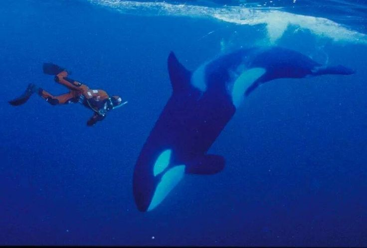 Image result for swim with orcas norway