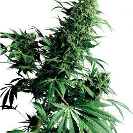 Shiva Shanti regular - strain - Sensi Seeds   Cannapedia