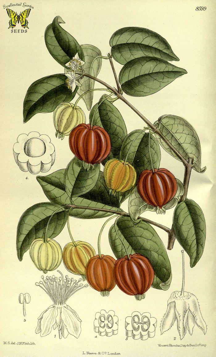 Ilustração botânica da pitanga mostrando frutas, flores e folhas