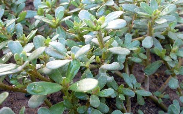 Γλυστρίδα ή Αντράκλα: Ένα αρχαίο θεραπευτικό φυτό με πλούσιες ιδιότητες